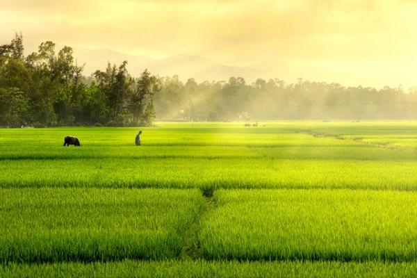 Mơ thấy cánh đồng lúa là điềm báo gì?