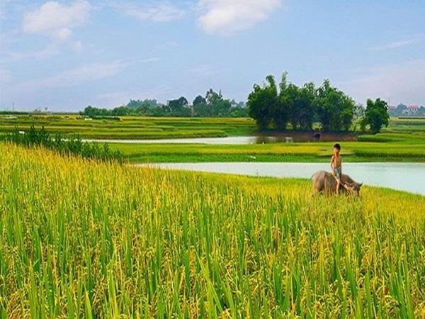 Ý nghĩa giấc mơ thấy cánh đồng lúa