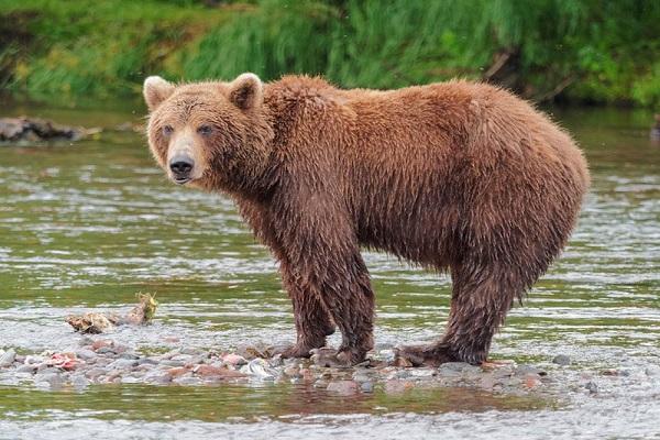 Ý nghĩa điềm báo mơ thấy con gấu
