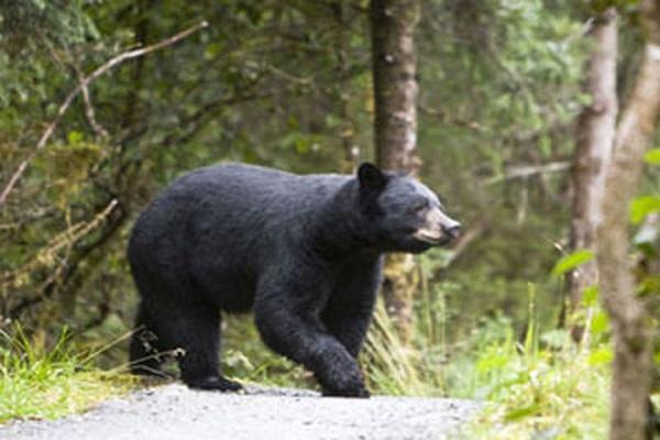 Mơ thấy con gấu mang đến điềm báo gì?