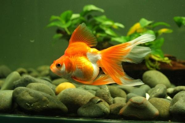 Điềm báo trong giấc mơ thấy cá vàng