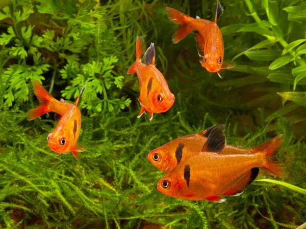Tại sao lại mơ thấy cá chép vàng