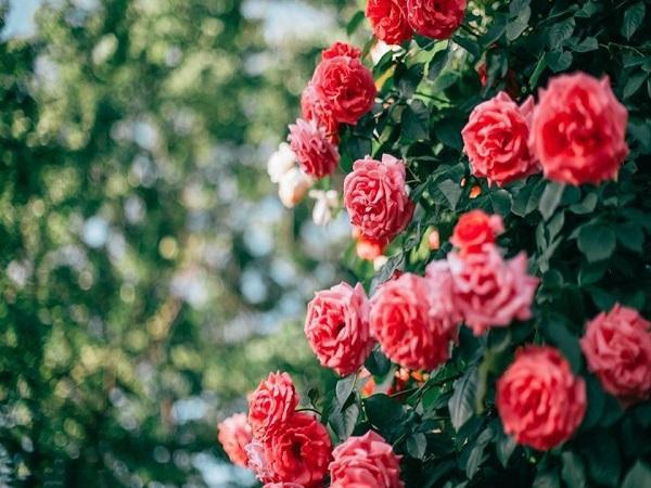 Điềm báo trong giấc mơ thấy hoa hồng
