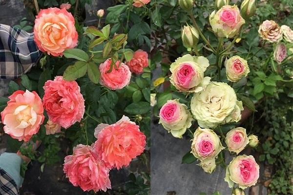 Vì sao lại mơ thấy hoa hồng